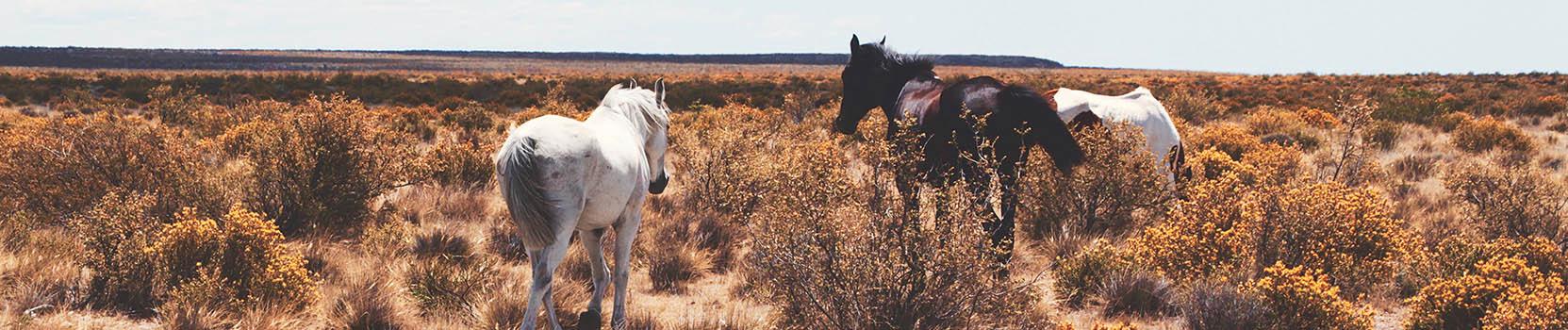 Pferde in der argentinischen Pampa